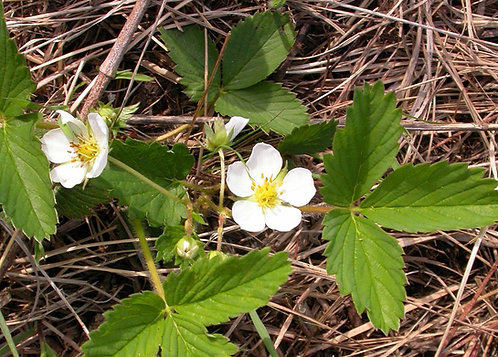 *Sold Out - Fragaria virginiana - Wild Strawberry