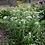 Thumbnail: Eupatorium perfoliatium - Common Boneset