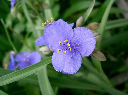 Tradescantia ohiensis - Ohio Spiderwort