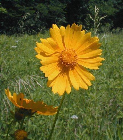 *Sold Out - Coreopsis Lanceolata - Lanceleaf Coreopsis