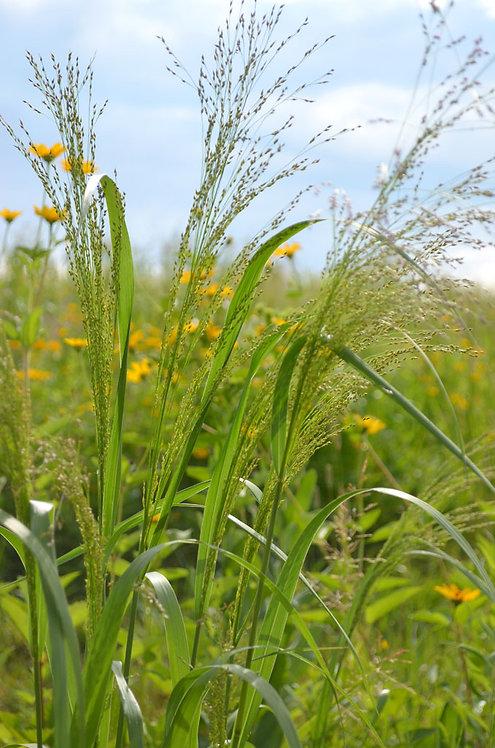 Panicum virgatum- Switch Grass