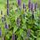 Thumbnail: Agastache foeniculum - Anise Hyssop