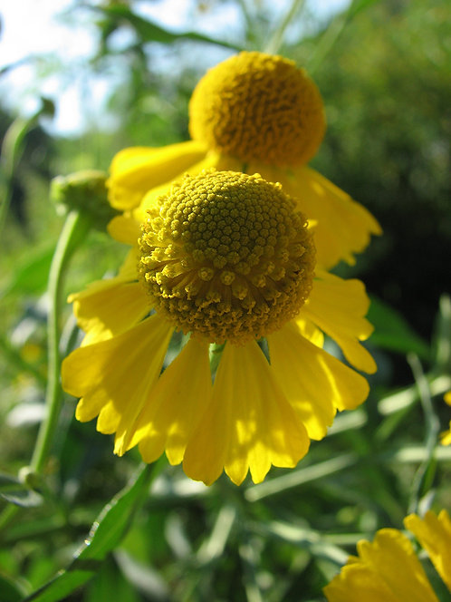 *Sold Out - Helenium autumnale - Helens Flower