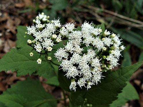Ageratina altissima - White Snakeroot