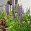 Thumbnail: Lupinus perennis - Wild Lupine
