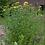 Thumbnail: Hypericum pyramidatum - Great St. John's Wort
