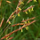 Thumbnail: Sorghastrum nutans - Indian Grass