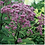 Thumbnail: Eutrochium maculatum - Spotted Joe Pye Weed