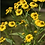 Thumbnail: *Sold Out - Helenium autumnale - Helens Flower