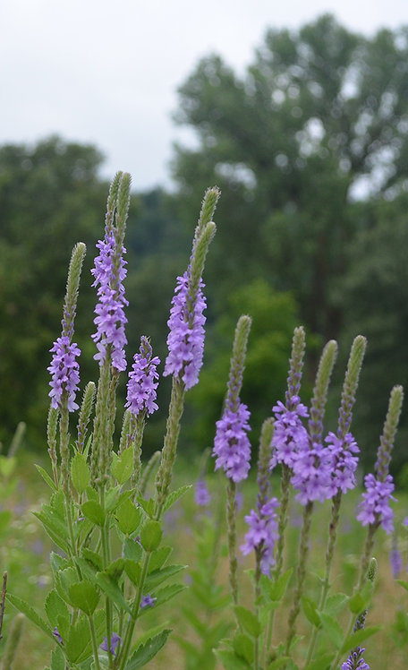 *Sold Out - Verbena stricta - Hoary Vervain