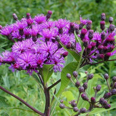 Vernonia fasciculata - Common Ironweed