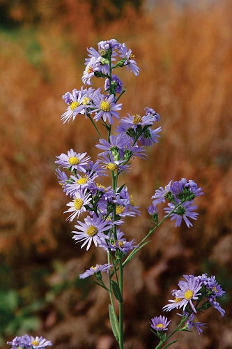 Symphyotrichum laeve - Smooth Aster