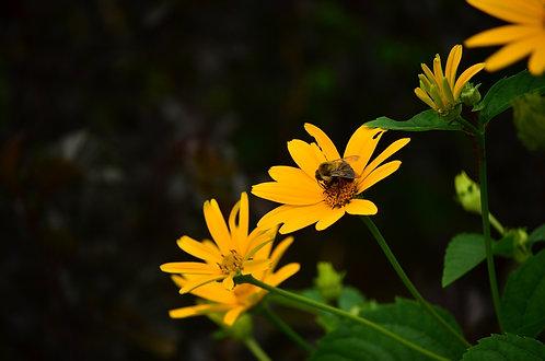Heliopsis helianthoides - Ox-eye Sunflower