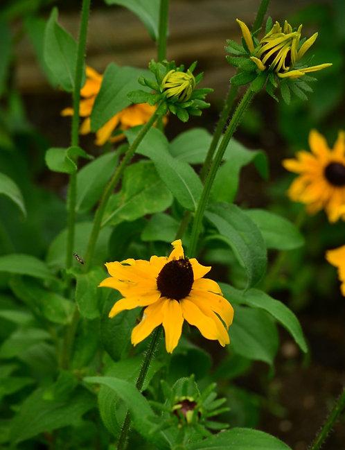 Rudbeckia hirta - Black eyed Susan
