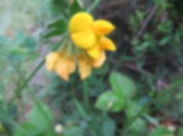 Lotier (fleur)