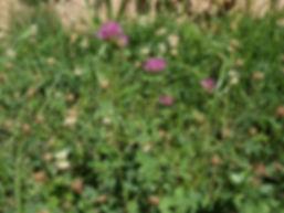 Trèfle blanc et trèfle rose