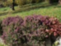 Bruyère en fleur