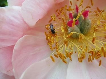 Halicte sur une pivoine en fleur