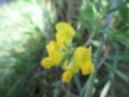 Gesse des près (fleur)