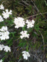 Lace flower blanc