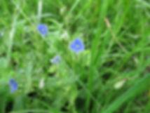 Véronique (fleur)