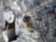 Chambre d'hôte l'Abeille Saint-Michel, à Marthod. Une Osmie rousse (abeille sauvage) dans notre tas de bois.