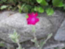 Lychnis Coronaria (fleur)