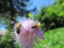 Scabieuse luisante (fleur), abeille noire et hybride