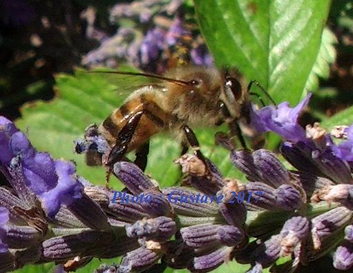 Cette photo d'abeille sert de logo provisoire poiur notre chambre d'hôtes, à Marthod (près d'Albertville et Ugine, en Savoie)