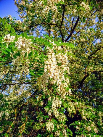 black locust tree.jpg