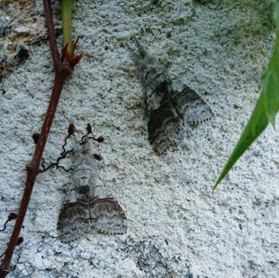 Two well hidden moths
