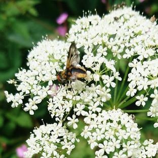 Ectophasia fly on ground elder