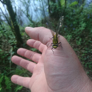A young dragonfly