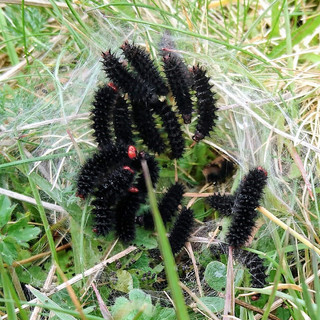 Glanville fritilliary caterpillars