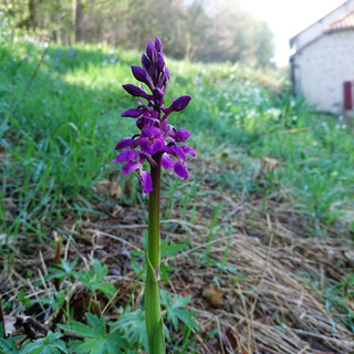 Early purple orchid