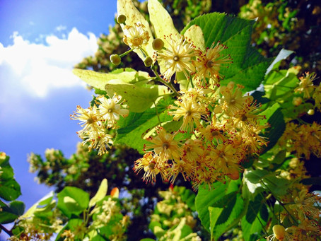 Why trees are the bees knees - Part 2  - small-leaved lime