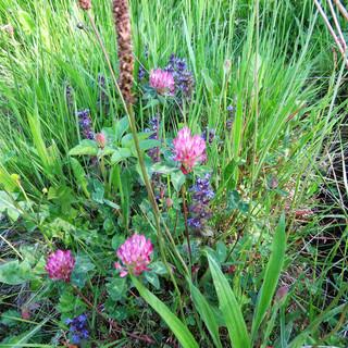 Short flowery sward