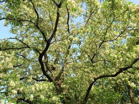 Why trees are the bees knees  Part 1 - Black Locust