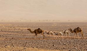 camels_DN.png