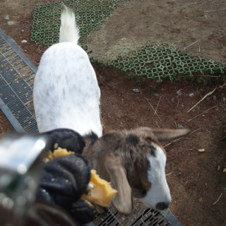 KOBE 六甲山牧場 ヤギ