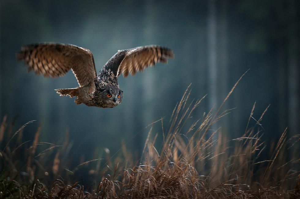 Owl in Flight:Trista Haggerty.jpg