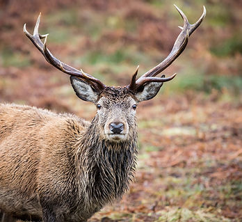 Reindeer, Scotland_Trista Haggerty.jpg