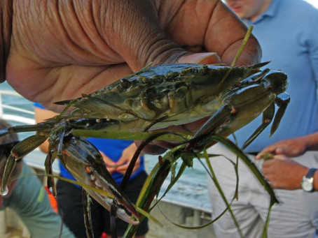 Busy as a Blue Crab