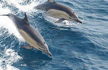 Common_dolphin_noaa.jpg