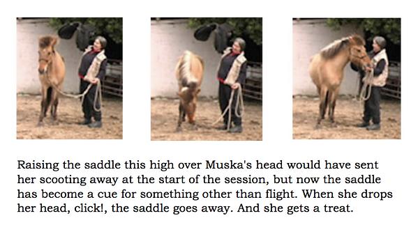 Muska saddle cues head lowering.png