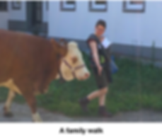 Snickers the cow on a family walk.png