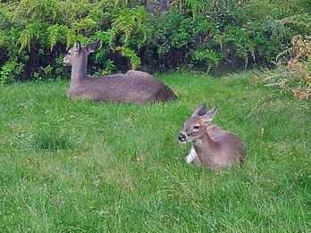 two deer in backyard on rainy day.jpg