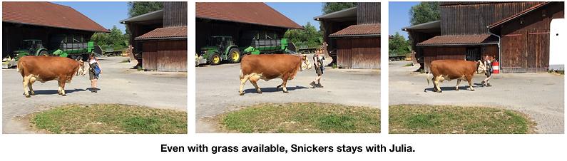 Snickers walking through barnyard.png