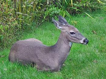 deer in backyard on rainy day.jpg