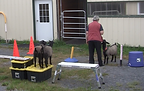 Learning to wait - goats.png